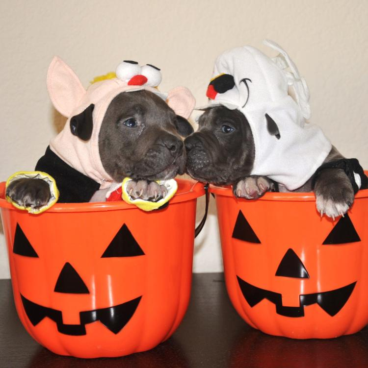 45 Pitbulls In Halloween Costumes Including Mine